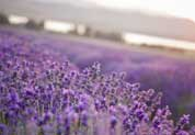 Benefits Of Lavender Oil For Adults & Children