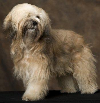 Tibetan Terrier dog breed