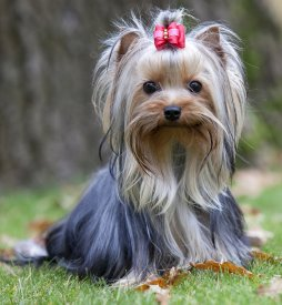Yorkshire Terrier FAQ Frequently Asked Questions