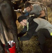 Gino Montani and Jesse Montani milk cows on The Amazing Race Canada 3