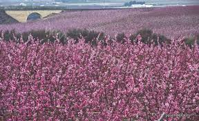 Blossoms Peach