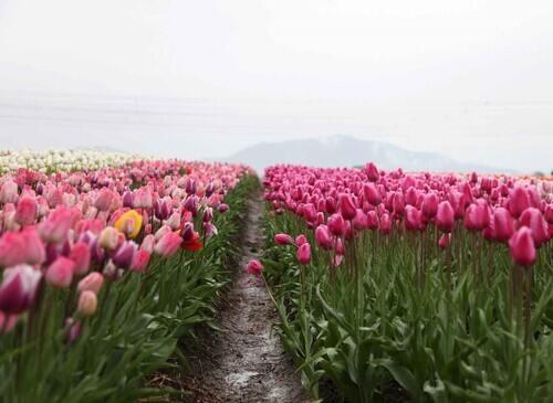 Foto di Stocksnap, tulipani