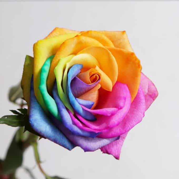 rainbow rose valentines day
