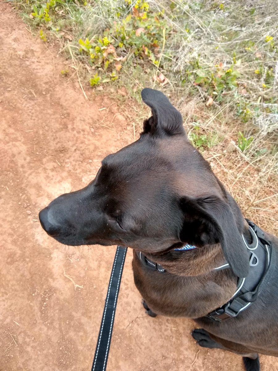 Dark brown dog on a dirt hiking trail