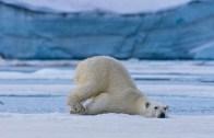 Kutup Ayısının Buzla Buluşma Anı