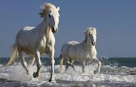 camargue-running-surf-horses-w