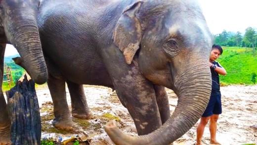 bakıcısını koruyan fil