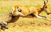 Büyük Kedilerden Müthiş Saldırı Taktikleri!