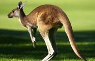Bu Kanguru Tam Bir Tatlı Bela