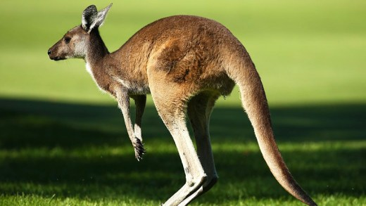 sevimli evcil kanguru