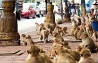 Tayland'ın Lopburi Şehrini Maymunlar Bastı