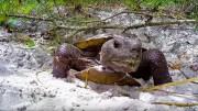 Rockçı Kaplumbağa