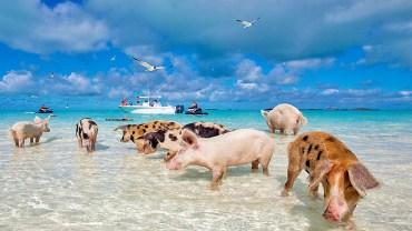 Bahama Sahillerininde İnsanlarla Yüzen domuz Sürüsü
