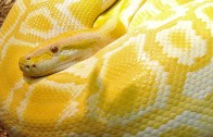 Kıskanç Kediden Sarı Yılana Meydan Dayağı