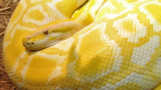 yılanı tokatlayan kedi