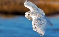 kutup baykuşu
