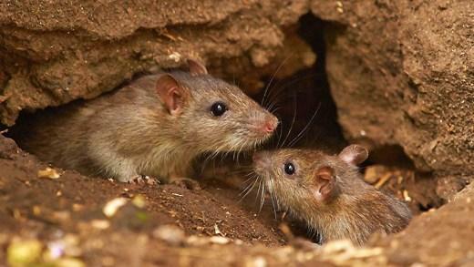farelerin yaşam savaşı