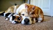 Köpeğe Patronun Kim Olduğunu Gösteren Kedi Yavrusu