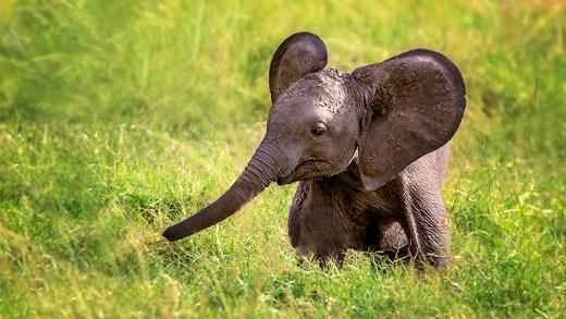 insan ile oynayan yavru fil