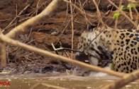Ava Giden Avlanır Sözünü Canlandıran Jaguar