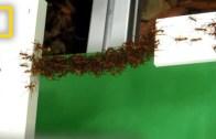 Pratik Zeka Konusunda Ders Niteliğinde Görüntü Veren Karıncalar