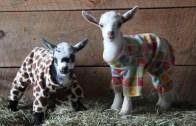 Gözlerden Kalpler Çıkaran Görüntüler! Yavru Keçilerin Pijama Partisi