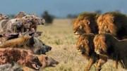 Aslanlar mı Sırtlanlar mı? Aslan – Sırtlan Kavgaları