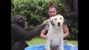 Gerçek Bir Tarzan, Şempanzelerle Köpeği Yıkayan Adam: Kody Antle