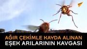 Ağır Çekimle Eşek Arılarının Kavgası