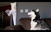 Husky Cinsi Köpeğine Husky Kılığına Girerek Şaka Yapan İşsiz