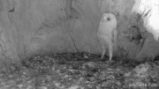 İlk Kez Gök Gürültüsü Duyan Bebek Baykuş