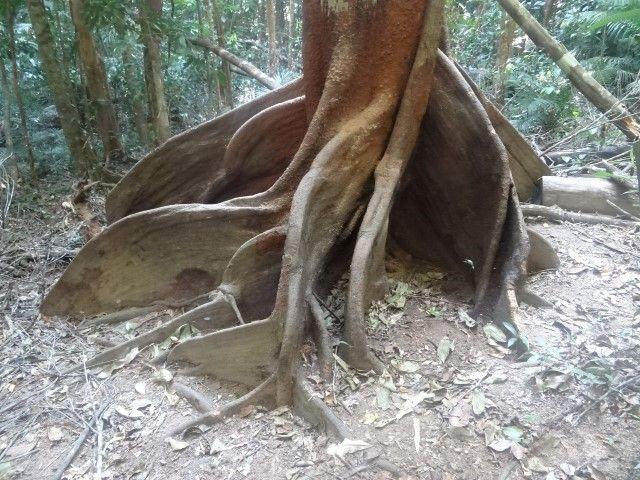 Australie- Queensland: Arbres milinaires.