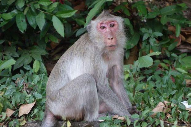 Il y a de nombreux singe du coté de Kep au Cambodge. Article complet: http://yoytourdumonde.fr