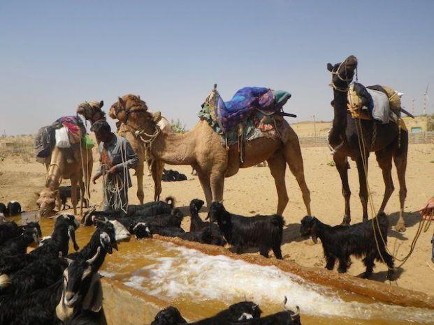 Quelques puits sont present dans le desert de Thar dans le Rajasthan en Inde pour les habitants mais aussi pour les animaux comme les dromadaires photo voyage tour du monde http://yoytourdumonde.fr