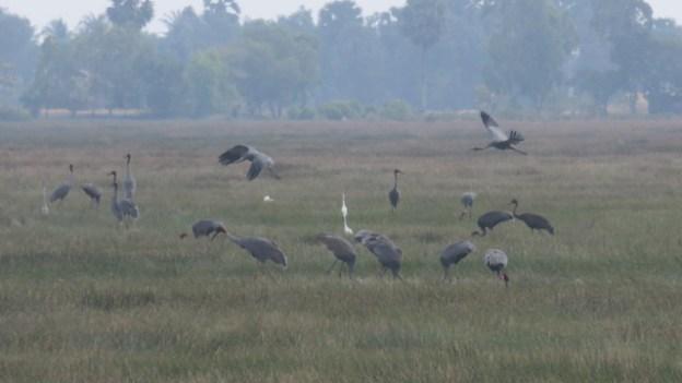 A quelques kilomètres de Kep au Cambodge en pleine campagne vous pouvez trouver un superbe observatoire à oiseaux