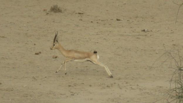 Il y a quelques animaux dans le desert de Thar a decouvrir photot blog voyage tour du monde http://yoytourdumonde.fr