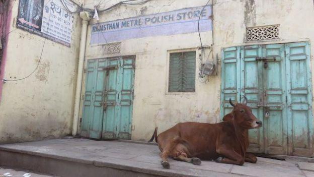 En inde les vaches sont sacrées et vous pouvez les trouvés dans les centres ville comme a Jaipur photo blog voyage tour du monde http://yoytourdumonde.fr