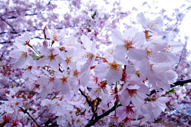 Les cerisiers en fleurs en mars et avril sont une occasion unique de visiter le Japon. Photo blog voyage tour du monde http://yoytourdumonde.fr