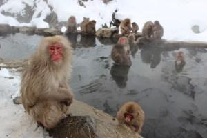 Les singes du Parc Jigokudani au Japon à 1h de Nagano. Photo blog voyage tour du monde http://yoytourdumonde.fr