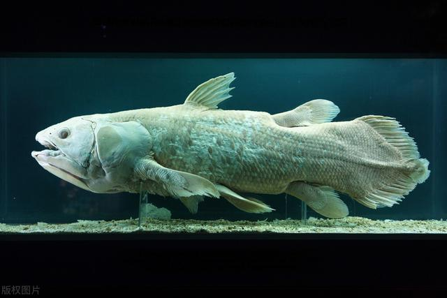 How did the coelacanth reappear in the world when the vanguard landed 65 million years ago?