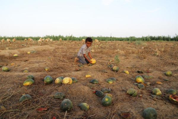 Yemen:Watermelon harvest season