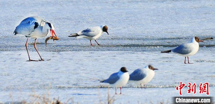 Migratory birds in the largest lake between China and Russia increase by 126,000