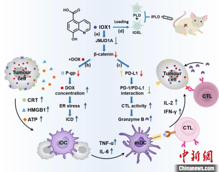 Zhejiang Scientific Research Team Achieves New Results in Tumor Treatment