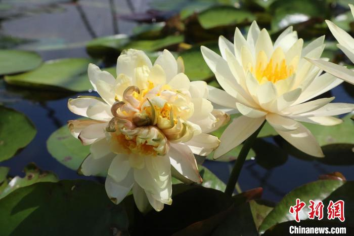 """""""Seven-core water lily"""" found in Lianhuashan, Guangzhou, plans to make specimens"""