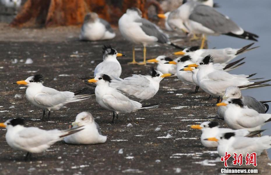 """""""Mythical bird"""" Chinese Crested Tern """"guest"""" Qingdao Jiaozhou Bay"""