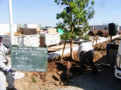 ②アラカシ(高木)の植え付け作業の様子。