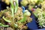 צמח קוברה צעיר Young Darlingtonia