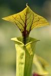 שופרית צהבהבה S. flava בגנים הבוטאניים בבון, גרמניה