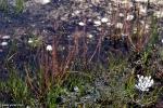 Drosera filiformis