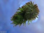 ניצן חורף של נאדיד המים Utricularia australis